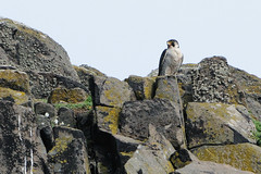 Perched Peregrine. (stonefaction) Tags: nature birds scotland wildlife may forth isle firth