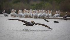 Scout (gseloff) Tags: birds texas pasadena brownpelican doublecrestedcormorant kayakphotography gseloff horsepenbayou galvestonbayestuary