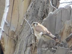 Birding Alamosa - 15 (sfgamchick) Tags: bird colorado birding americankestrel kestrel falcosparverius