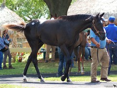 Black Tide (Shazstock) Tags: old two horse black sport dark grey bay track mare sale year racing chestnut colt stallion thoroughbred equine roan filly