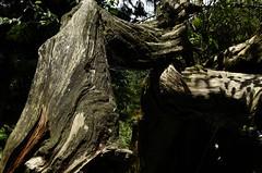 DSC_0020 (BURGESSLOU) Tags: mountain tree green nikon taiwan   nantou  shenmu d5100