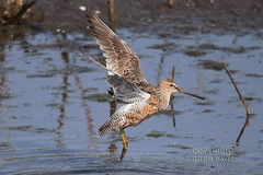Long-billed Dowitcher (gregpage1465) Tags: galveston bird nature photography photo texas greg cove wildlife picture page shorebird longbilleddowitcher lafittes longbilled dowitcher limnodromusscolopaceus gregpage