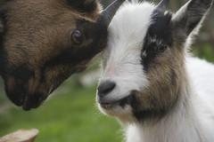 Nanny goats (bertrandwaridel) Tags: field switzerland countryside goat april vaud 2014 nannygoat 500px corcelleslejorat chèvrenaine
