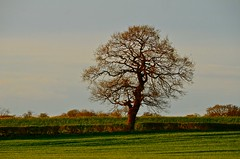Gnosall lone tree (Ugborough Exile) Tags: uk nikon staffordshire midlands stafford 2016 gnosall treesdiestandingup d7000
