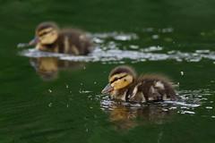 _F0A8068.jpg (Kico Lopez) Tags: birds rio spain aves galicia lugo mio anasplatyrhynchos anadeazulon