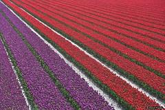 2016-04 Weer kleur met tulpen in het landschap (Stad aan Het Haringvliet/NL) (About Pixels) Tags: 0424 2016 april bloemen collecties flora goeree holland lenteseizoen mnd04 natuur nederland tulpen zeedijk stadaanhetharingvliet netherlands nl nikond7200 tulips flowers bollenteelt bollen tulpenbollen tulpenveld specials zuidholland