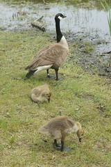 Canada Geese (pictureguy89) Tags: geese goose goslings marsh gosling milton bluehills canadagoose canadageese conservationland marigoldmarsh