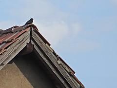 Vogel auf Dach (Kenny from the Block) Tags: berlin deutschland biesdorf ukb marzahn
