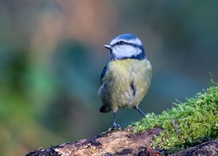 Blue Tit (DAJ Natural Images) Tags: bird nature birds tit wildlife norfolk aves titmouse bluetit rspb strumpshaw