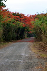 Road to Punta Arenas (sarowen) Tags: road flowers orange flower tree puertorico path flowering flamboyant vieques flamboyan puntaarenas royalpoinciana greenbeach isladevieques viequespr vieuqespuertorico