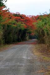 Road to Punta Arenas (sarowen) Tags: road flowers orange flower tree puertorico path flowering flamboyant vieques flamboyan puntaarenas royalpoinciana greenbeach isladevieques viequespr vieuqespuertorico