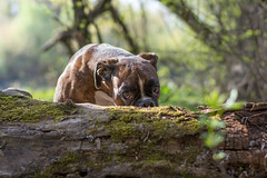 hiding (Tams Szarka) Tags: dog pet nature animal forest puppy eyes outdoor boxer