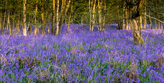 Millions Wood in wild flower (Slimdaz) Tags: flowers blue green nature beautiful beauty bluebells outside outdoors pentax violet petal colourful ricoh solihull darrensmith millisonswood pentax2040mmlimited slimdaz k3ii darrensmithimages