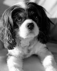 Les doux yeux de Tho... (Argentique) / Thos' gentle eyes... (Film) (Pentax_clic) Tags: bw dog chien robert film king xx charles 11 double nb d76 mai f spotmatic warren theo argentique 2016