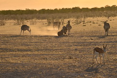 Etosha at Sunset (pmsoftware) Tags: africa sunset animals nikon sundown zebra namibia etosha springbok gamedrive d610