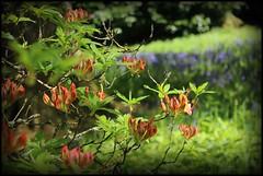 Woodland flowers (Pat's_photos) Tags: flower westonbirt hss