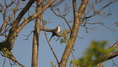 Yellow-biled Cuckoo (AMelck) Tags: park valley forge mcmbc