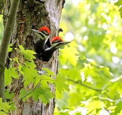 Bookends (Slow Turning) Tags: two tree male birds spring maple hole nest young trunk chicks immature southernontario nestlings juveniles pileatedwoodpeckers hylatomuspileatus