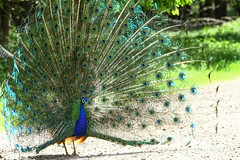 """Peacock"" (cjf3) Tags: peacock wildbird tailfeatherdisplay"