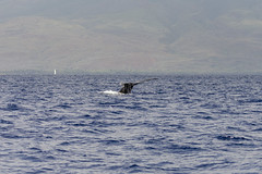 Humpback Whale Dive II (rschnaible) Tags: ocean life sea wild usa water animal hawaii us pacific outdoor wildlife tail diving maui whale humpback