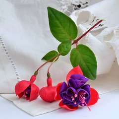 Summer Awakening (njk1951) Tags: pink summer stilllife flower three purple blossom linen fuchsia squareformat bloom buds whitelinen threeblossoms whitenapkin fuchsiatrio