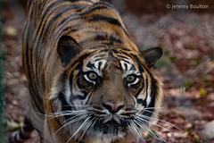 Alert (JKmedia) Tags: paigntonzoo boultonphotography bigcats feline zoo captivity tiger pantheratigrissumatrae stripes profile n15c mammal