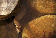 Rantakrme (Basse911) Tags: water suomi finland stones hanko nordic vatten vesi stenar grasssnake kivi hang natrixnatrix snok rantakrme hamnskr