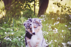 Moments (Alice Veresova) Tags: miniaussie mydog random summer sun