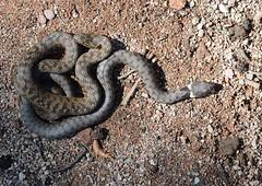 viperine snake (Natrix maura) and grass snake (Natrix natrix) (willjatkins) Tags: macro reptile snake reptiles grasssnake natrix sigma105mm natrixnatrix natrixmaura closeupwildlife viperinesnake twosnakes europeansnakes europeanreptiles reptilesofeurope nikond7100 reptilesofprovence snakesofprovence reptilesoffrance snakesoffrance snakesofeurope