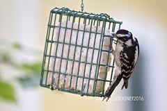 IMG_4650eFB (Kiwibrit - *Michelle*) Tags: tree grass birds woodpecker squirrel maine feeder chipmunk monmouth 2016 061916
