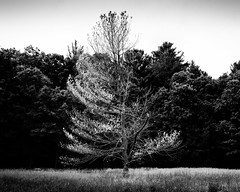 Sentinel (trochford) Tags: blackandwhite bw usa tree monochrome field contrast forest canon eos mono blackwhite woods exterior outdoor massachusetts deadleaves meadow newengland deadtree skeletal bleached lonetree lincolnma lincolnmassachusetts