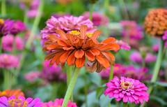 Zinnia (shiplu2010) Tags: flowers nature colors zinnia