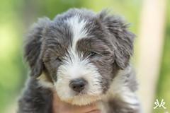 Puppylove (Kasinfoto @ Facebook) Tags: dog dogs puppy nikon collie sweden sverige tamron bearded d610 edsvalla