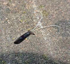 She Got Red Eyes (Bricheno) Tags: macro bug insect scotland glasgow escocia szkocja schottland scozia cosse identified dalmarnock  esccia   bricheno scoia