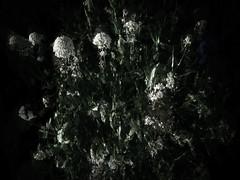 160616-5-1 (chrisfriel) Tags: flowers memorial friel