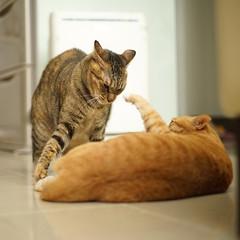 DSC09361S (lazybonessss) Tags: leica cat momo kitten nana kitten2 summicronm50 sonya7 sonyilce7
