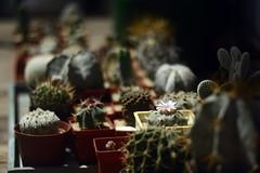 Helios 92/2 lense + Nikon D7100 (sentimentalbob) Tags: cactus cacti ukraine peyote opuntia ferocactus echinopsis astrophytum lophophora lophophorawilliamsii vinnitsa nikond7100 helios922