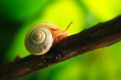 Another lazy Monday (Sergio '75) Tags: light naturaleza macro sergio canon dof natural natur snail naturallight natura softfocus monday lumaca ef2470mmf4lisusm canoneos70d sergio75 depthoofield