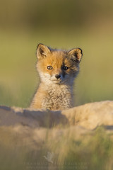 Hi (Explored) (santosh_shanmuga) Tags: red wild baby cute nature animal mammal outdoors md nikon outdoor wildlife adorable maryland explore fox hi kit 500mm explored d3s