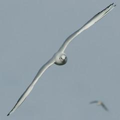 Wind (Harry Mijland) Tags: holland bird seagull meeuw texel vogel dearharry harrymijland