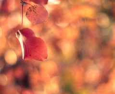 ~ nature sings in color ~ (Proleshi) Tags: blur flower color fall colors leaves 50mm colorful dof bokeh fallcolors colores multicolor jamal d300s 50mm14afs proleshi jamaljosephs