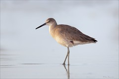 Willet (Daniel Behm Photography) Tags: california nature birds wildlife orangecounty bolsachica shorebird willet 600f4 danielbehm behm1dm4