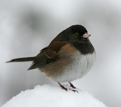 On Top of the Hill (janruss) Tags: winter snow bird junco avian darkeyedjunco janruss janinerussell magicunicornverybest magicunicornmasterpiece
