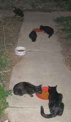 Five evening visitors, chowing down (Hairlover) Tags: pet cats pets public cat kitten kitty kittens kitties straycats allcatsnopeople