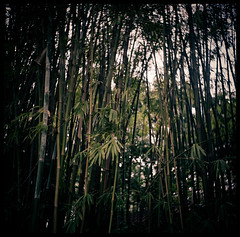Boo (Lefty Jordan) Tags: trees hk green 120 6x6 tlr film hongkong day dof kodak bokeh seagull bamboo lightroom 4b ektacolorpro160