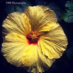 A Flower on Maui (Stevenreyes817) Tags: flower maui hawaiian