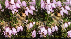 301195 (fotoopa) Tags: macro mirror stereoscopic stereophotography 3d crosseye crosseyed fotografie flight stereo thuis highspeed insecten crossview 3dimage 3dphotography 3dphoto opnames 3dmacro 3dpicture 3dfotografie highspeedmacro fotoopa 3dfoto frontmirror dslrstereo frontsidemirror 3dinsects crosseyedphotography 3dbeelden 3dfotoinsecten 3dbeestjes 3dinsecten