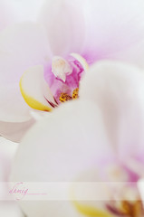 Never old (dhmig) Tags: pink italy orchid flower macro nature beauty closeup petals nikon dof bokeh feminine details softness naturallight indoor innocence sensuality freshness purity femininity romanticism 50mmf28 fragility pastelcolors softcolours softcolor nikond7000 dhmig dhmigphotography