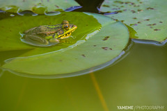 Before Night / Taipei, Taiwan (yameme) Tags: nature animal canon taiwan frog taipei       taipeibotanicalgarden 60d  70300mmlis