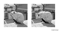 Cat-s (v_|ncenzog_|amp) Tags: trip travel bw cats white k cat canon square photography eos photo photos wb squareformat minimalism gatto bianco nero gatti bianconero 450d thecatwhoturnedonandoff blacblackandwhite